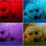 Cromoterapia para animais